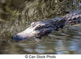 alligator swim  miami zoo florida