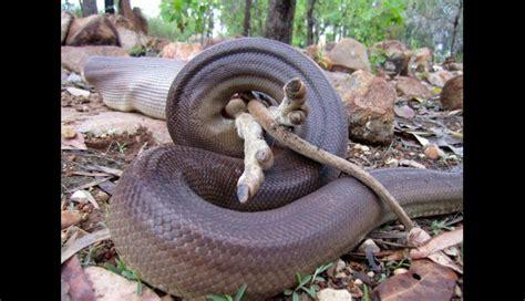 imagenes asombrosas de serpientes facebook asombrosas fotos de serpiente comi 233 ndose a