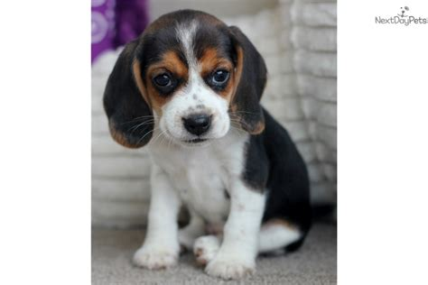 beagle puppies for sale near me beagle puppy for sale near southeast missouri missouri 2515bbb1 9981
