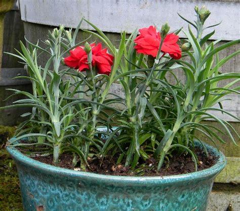 Pupuk Untuk Bunga Seruni pindah tanam bibit carnation ke pot ilmubudidaya