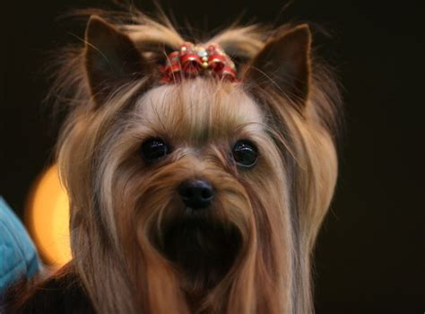 yorkies and allergies here are the 8 best breeds for apartment living business insider