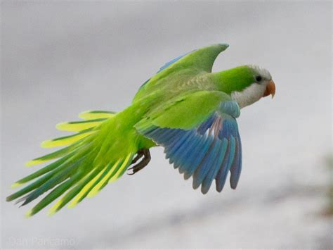 quaker parrot facts lifespan behavior pet care pictures singing wings aviary