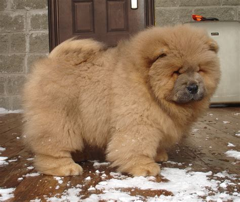 dogs and cinnamon chow chow cinnamon www pixshark images galleries