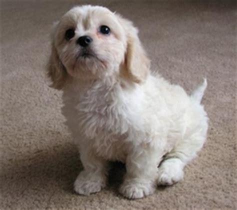 cavachon shih tzu mix cavalier king charles spaniel dogs for adoption in usa