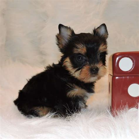 yorkies for sale in mo silver yorkies for sale in mo image breeds picture