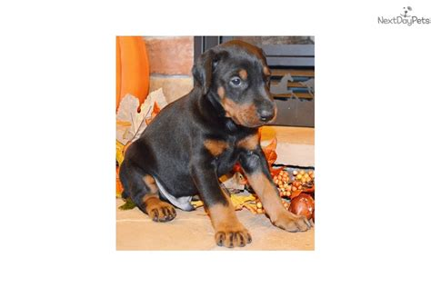 doberman puppies near me doberman pinscher puppy for sale near springfield missouri c0c2c781 c5b1