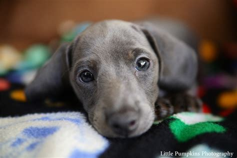 blue dachshund puppies blue dachshund puppies www imgkid the image kid has it