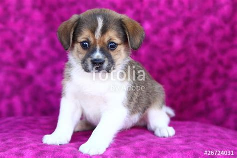 puggle pomeranian mix quot pomeranian and puggle mix puppy quot stock photo and royalty free images on fotolia