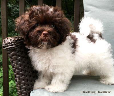 chocolate parti havanese 656 best havahug havanese images on havanese puppies photo galleries