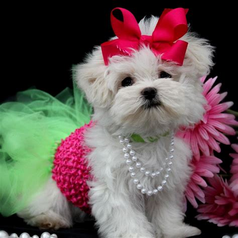 princess puppy pomeranian puppies for sale pomeranian puppies for sale pomeranian breeds picture