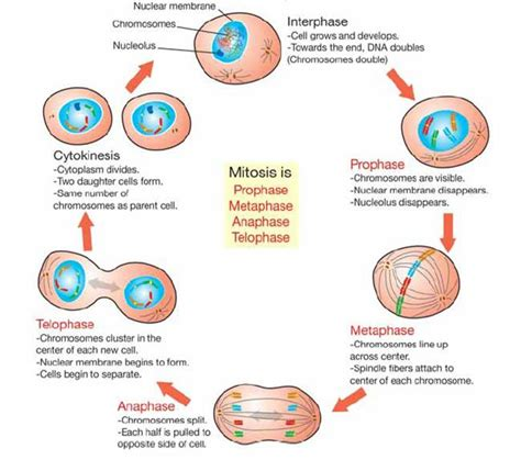 ch 10 11 4 and 12 unit 3 and 4 cell cycle meiosis