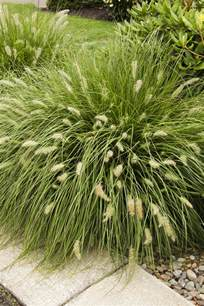 small ornamental grass