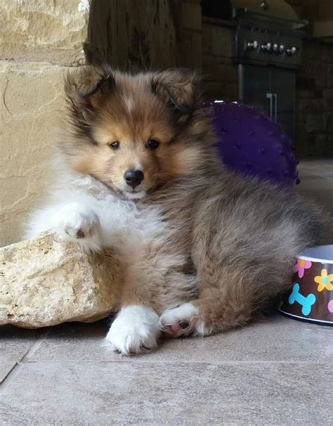 sheltie breed sheltie breeders pictures to pin on pinsdaddy