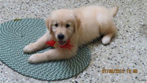 golden retriever price in india bangalore golden retriever puppies for sale hima 1 12761 dogs for sale price of puppies