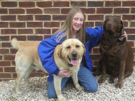 when is a golden retriever fully grown when is a labrador retriever grown dogs our friends
