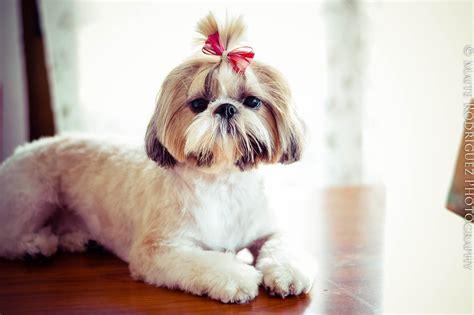 shih tzu cuidados cuidados pelo shih tzu perros y astrologia