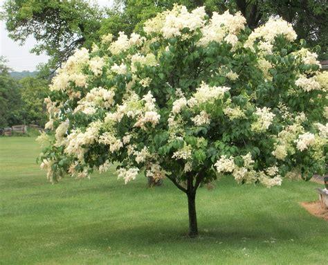 lilac tree information syringa reticulata jpg