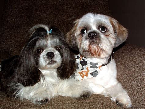 shih tzu with curly hair female shih tzu haircuts dog breeds picture