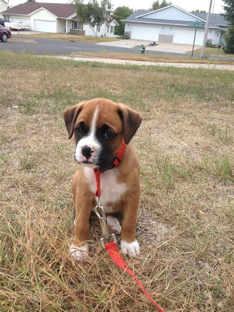 boxer puppies az 45 best images about boxers on chihuahuas puppys and i want