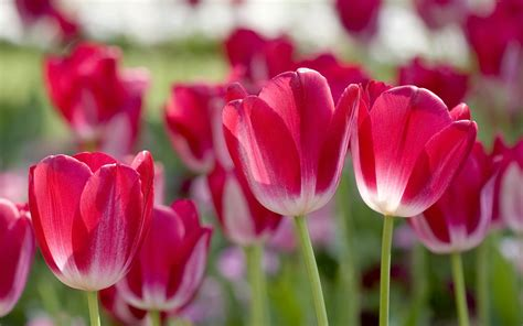 wallpaper tulips free wallpapers red tulips desktop wallpapers