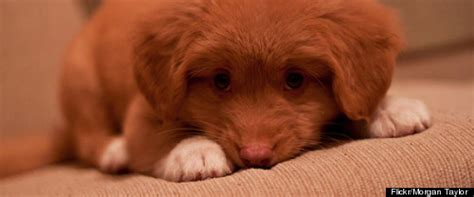 the most cutest puppy in the world denver a scotia duck toller might be the world s cutest puppy photos