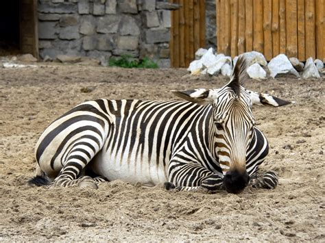 what color is a zebra zebra stripes are zebras black with white stripes or