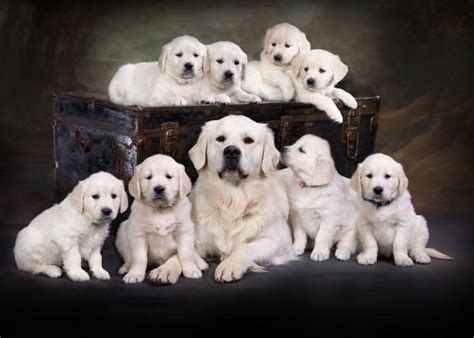golden retriever dogs for sale in michigan golden retriever puppies for sale grand rapids michigan dogs in our photo