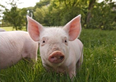 haus schwein haustier related keywords haustier keywords