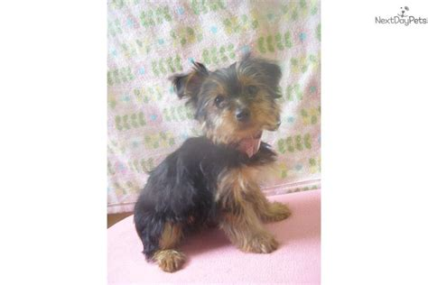 yorkie puppies nj terrier yorkie puppy for sale near jersey new jersey 5bbf5502 45f1