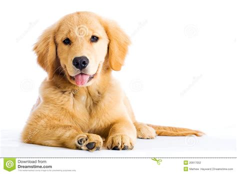 golden retriever tongue sticking out golden retriever puppy with his tongue hanging out stock photography image 20917052