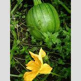 Pumpkins Growing   1536 x 2048 jpeg 682kB