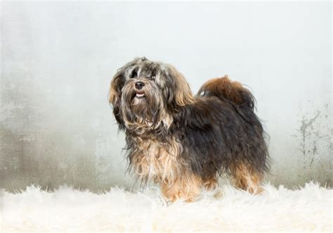 havanese average weight havanese breed information buying advice photos and facts pets4homes