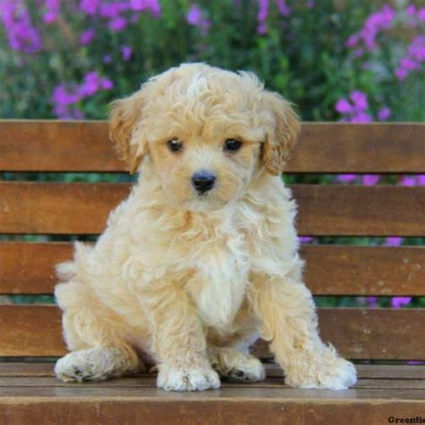 maltipoo puppies maltipoo puppies for sale maltipoo breed profile greenfield puppies