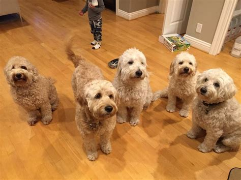 goldendoodle puppies for sale in sc 209 best images about goldendoodle on