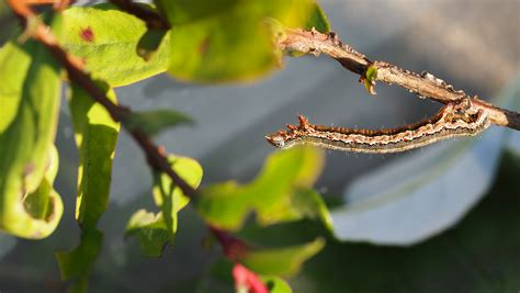 where to find caterpillars in your backyard where to find caterpillars in your backyard 28 images