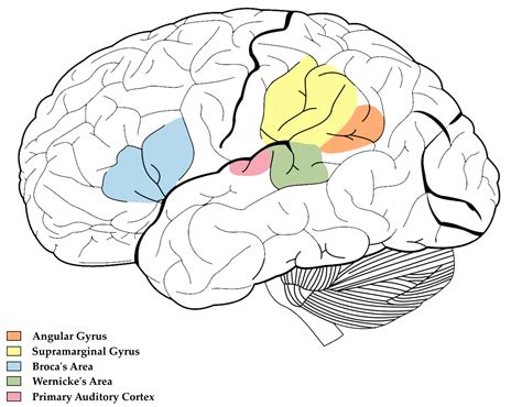 brain diagram quiz diagram brain diagram unlabeled