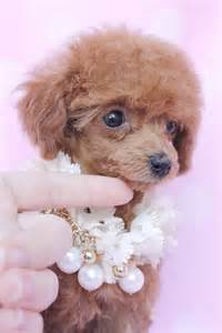 teacup poodle rescue indiana teacup poodle puppies for sale in indiana dogs our