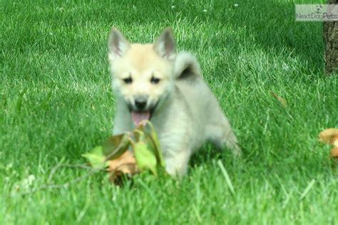 buhund puppies tige buhund puppy for sale near detroit metro michigan 305066f5 8d01