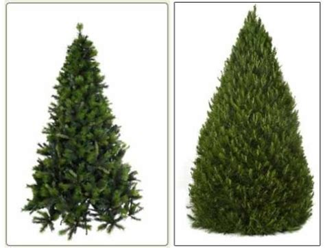 real christmas trees types pictures reference