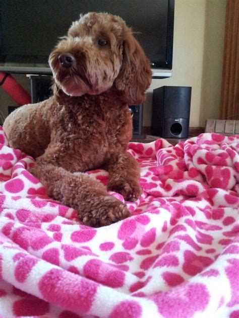 irish setter poodle mix 11 best bucket list images on pinterest bucket lists