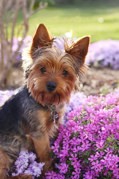 facts about yorkie yorkie facts for yorkie information and facts cool facts for
