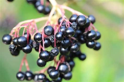 Sambucus Black 3456 by Free Photo Lilac Berries Elder Fruits Free Image On
