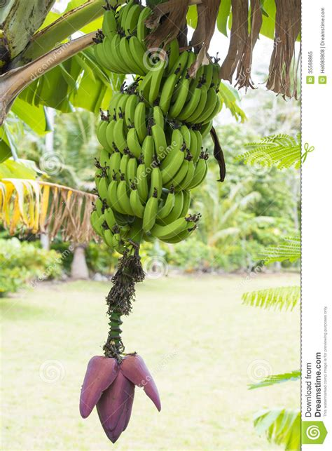 when do banana trees fruit banana plant with bloom and fruits royalty free stock