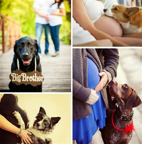 can dogs sense pregnancy 17 best images about baby board on big bows and gender