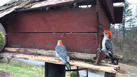 bird rescue pennsylvania blue jays and woodpeckers central pennsylvania
