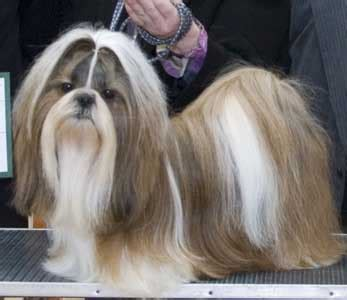 shih tzu whispers shih tzu club breed database shows and results