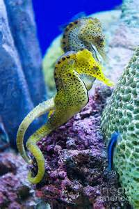 colorful seahorse colorful seahorses by jim and emily bush