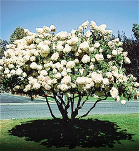 hydrangea pee gee trees for sale at arborday org