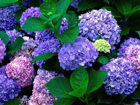 fiori ortensie ortensie coltivazione piante in giardino coltivazione