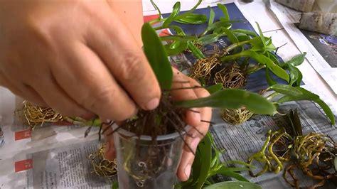 mengganti media tanam  pot anggrek repotting orchids